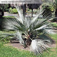 Nannorrhops arabica (Silver) - acheter des semences à rarepalmseeds.com
