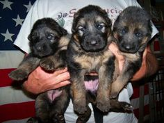 Pictures of 3 Week Old German Shepherd Puppies