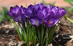 Spring is on its way! Nothing like Purple Crocus to let know that Spring is on its way! Beautiful Flowers Pictures, Amazing Flowers, Flowers Pics, Green Flowers, Spring Flowers, Shadow Plants, Bee Photo, Purple Garden, Purple Love