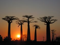 Baobabs in Madagascar, preferably with the sun setting, and fatter.