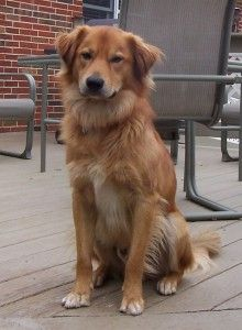 This is Bentley a 1 yr old Golden mix. His original owner put him on Craig's List & he was a taken in by a family that has now surrendered him to rescue. He is crate & potty trained, has good house manners, gets along with other dogs, cats & kids. Bentley is a sweet boy who is looking for a forever home & is at  Goldheart Golden Retriever Rescue, Maryland.