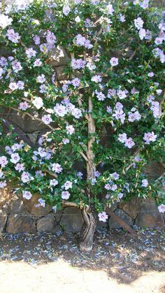 Rose of Sharon - prune like tree -  I NEED these for the side of the house. Attracts hummingbirds and butterflies.