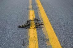 Road crew paints line over dead raccoon, JOHNSTOWN, Pa. -- A Pennsylvania Department of Transportation official says a crew couldn't avoid painting over a dead raccoon when they put new double-yellow lines on a western Pennsylvania road last week. Double Yellow Lines, Johnstown Pennsylvania, Oarfish, Road Lines, Paint Line, Weird News, Bizarre News, Yellow Painting, Country Roads