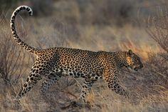 Leopard in sunset light by MogensTrolle via http://ift.tt/2nqZFt6