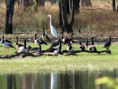 Crane and Magpie Geese at Double Lagoon Queensland