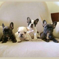 What's better than a French Bulldog Puppy? Four French Bulldog Puppies! Cute French Bulldog, French Bulldog Puppies, Frenchie Puppies, French Bulldogs, Cute Puppies, Cute Dogs, Dogs And Puppies, Doggies, Chihuahua Dogs