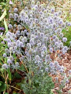 sea-holly-rattlesnake-master-flower-7fd13cdd Best Perennials, Hardy Perennials, Flowers Perennials, Southern Landscaping, Landscaping Ideas, Modern Landscaping, Yard Landscaping, Planting In Clay, Planting Flowers