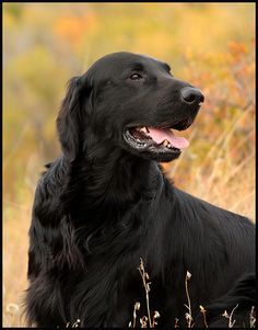 """Flat-Coated Retriever - the bestest and most beautiful dogs in the whole wide world...  ~~~~~~~~~~~~~~~~~~~  From Flickr - by Blazingstar  """"Huxley"""""""