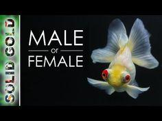 13 Fancy Goldfish Tank Ideas Goldfish Tank Goldfish Fish