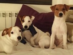 Chloe, Sookie y Tara Zambrana #JuckRussell #veterinario wwwterinario.es