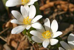 Fleur sauvage du Québec. La sanguinaire du Canada, petite fleur blanche printanière qui semble émerger d'une grande feuille unique lors des premiers beaux jours de mai.
