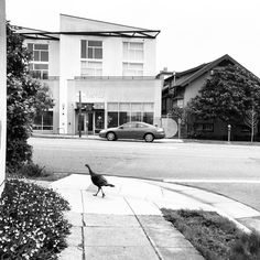 Good Morning early birds! Here's a turkey on Telegraph Avenue.