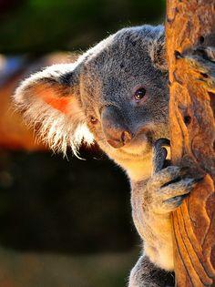 Amazing wildlife - Koala Bear shows why. Nature Animals, Animals And Pets, Wild Animals, Beautiful Creatures, Animals Beautiful, Animal Original, Regard Animal, The Wombats, Australian Animals