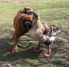 ..A blind boxer named Baks got a whole new lease on life thanks to a goose named Buttons. The goose leads Baks around everywhere either by hanging onto him with her neck, or by honking to tell him which way to go. Owner Renata Kursa, of Lublin, Poland, was heartbroken when Bak was left blind after an accident.  'But gradually Buttons got him up on his feet and starting walking him around. They're inseparable now - they even chase the postman together.'
