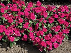 Vinca cora burgundy. This new vinca series is a big improvement over some of the earlier varieties. Plants are about 16 inches tall and spread to about 25 inches. They possess the traditional shiny le