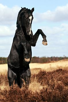 Gorgeous Wild Rearing Black Stallion Mustang.