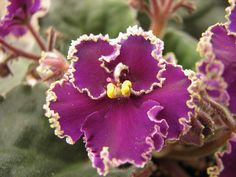 African violet. I used to raise African Violets and at one time had upwards of 40-50 of them and many, many different colors and varieties.  I kinds of miss growing them but have since switched to Gerbera Daisies!