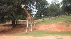"""""""Oh look, he's coming over to us!"""" A family at a drive through safari gets excited as a giraffe starts walking toward their car. But, they get much closer to this dribbler than they ever hoped. The first thing you…"""