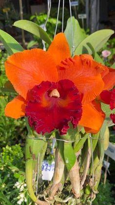 Rare Flowers, Exotic Flowers, Tropical Flowers, Vintage Flowers, Yellow Flowers, Colorful Flowers, Beautiful Flowers, Vanda Orchids, Cattleya Orchid