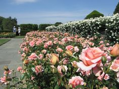 Longwood Gardens 2013 June 2 Roses