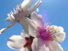 Almond tree spring time- Naturaleza | Armand Kuka Photo