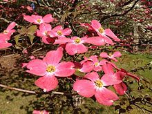 Cornus florida (flowering dogwood) is a species of flowering plant in the family Cornaceae native to eastern and central North America, from southern Maine west to southern Ontario, Illinois, and eastern Kansas, and south as far as northern Florida and eastern Texas, with isolated populations in Nuevo León and Veracruz in northeastern Mexico.[2]