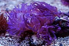 Marine Aquarium Anemone's: Carpet Anemone, Long Tentacle Anemone, Rose Anemone, Sebae Anemone, Bubble Bulb Anemone, Magnifica Ritteri Anemone