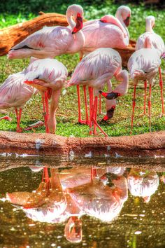 Flamingos - HDR #photography