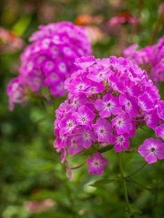 Garden phlox smell so sweet!