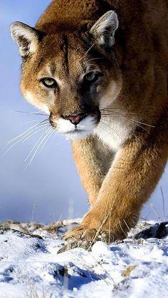 puma_snow_hunting_trick_big_cat_predator