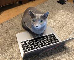 Russian Blue Kitten, Blues