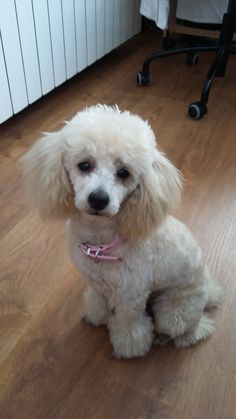 Leia, my toy poodle.