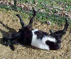 Fainting goats! How do you not love these things??? faint goat