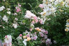 'Sally Holmes ' Rose Photo, with Marinette