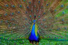 Outstanding capture of a Peacock by Janet Gupta