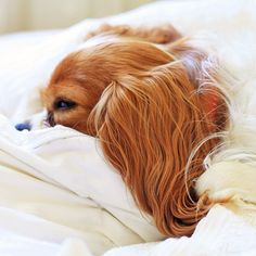 Cavalier Thor - It doesn 't get much more comfthorble than this!