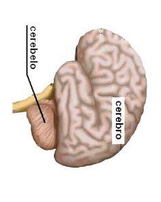 62 besten Gehirn Bilder auf Pinterest   Gehirn, Neurowissenschaften ...