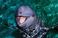 There are only 85 of these rare dolphins left in the world - and now they're in greater danger than ever before.