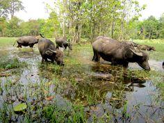 Water Buffalo in Cambodia