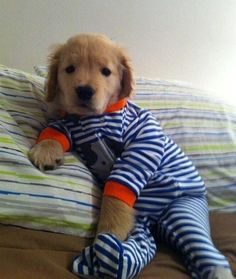 A golden retriever puppy is already so delightful, but put it in a onesie and your heart will melt.