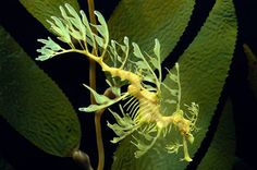 Leafy Seadragon - These slow-moving fish are in the same family as seahorses and rely on their leafy appendages for camouflage and protection from predators.