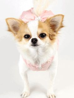 Si, vosotros, que llevais años comprando en nuestra boutique canina Alta Moda Europea Canina, y los que os habeis incorporado poco a poco sois lo mejor de nuestra empresa.