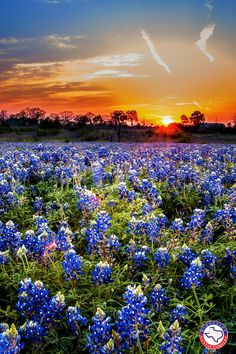 Sunrise over a field of Bluebonnets Texas Sunset, Wooden Jigsaw, Blue Bonnets, Beautiful Landscapes, Wild Flowers, How To Draw Hands, Scenery, Artist, Nature