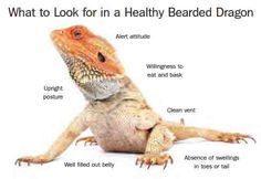 What To Look For In A Healthy Bearded Dragon These are the main characteristics of a happy, healthy Bearded dragon.  http://www.beardeddragons.co.za/what-to-look-for-in-a-healthy-bearded-dragon/