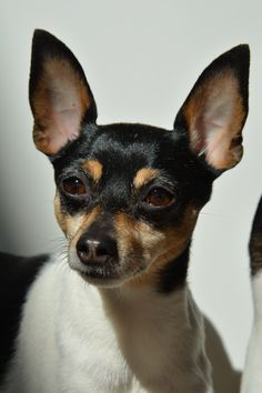 breed of dog, toy fox terrier Toy Fox Terrier Puppies, Rat Terriers, Companion Dog, Pet Id, Dog Toys, Baby Animals, Dog Breeds, Boston Terrier, Cute Dogs