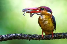 Oriental Dwarf Kingfisher with frog Photo by Shantanu Ambulgekar -- National Geographic Your Shot