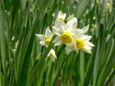 Narcissus canaliculatus http://lefotodiluisella.blogspot.it/