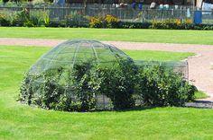 Igloo porośnięte pnączami może być miejscem ucieczki przed letnimi upałami.  Warto pokusić się o uprawę winogron :)