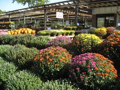Beautiful Mums Hicks Nurseries