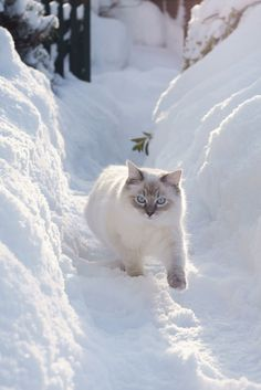 Dazzler of a RagDoll Cat in the snow banks